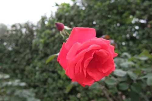 紅玫瑰 的 免費圖庫相片
