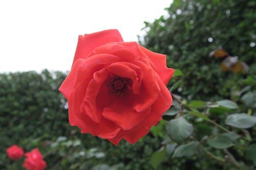 玫瑰 的 免費圖庫相片