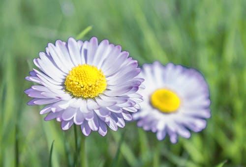 Foto d'estoc gratuïta de flor, herba, margarida