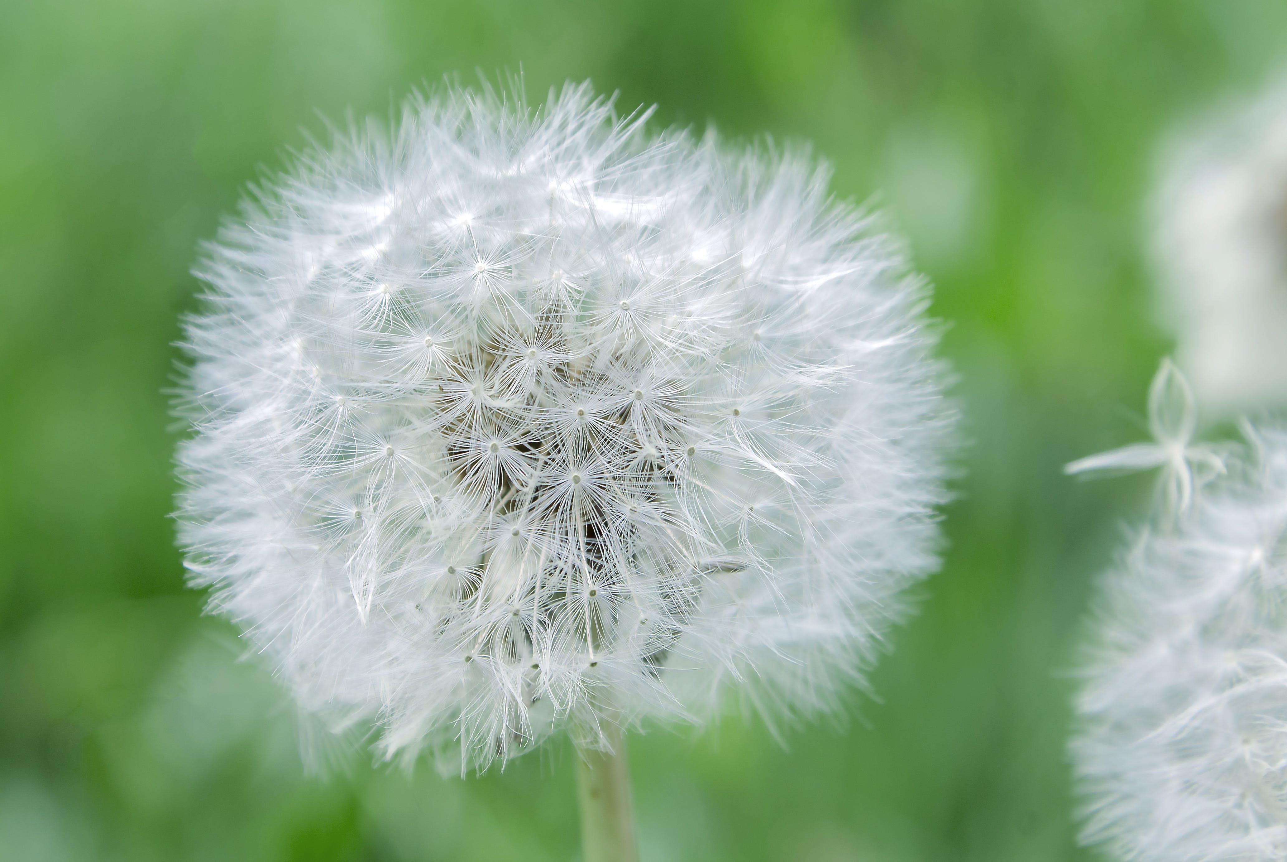 Darmowe zdjęcie z galerii z biały, dmuchawiec, flora, kwiat