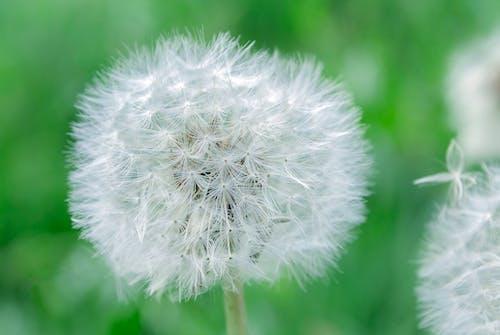 Foto d'estoc gratuïta de blanc, creixement, dent de lleó, flor