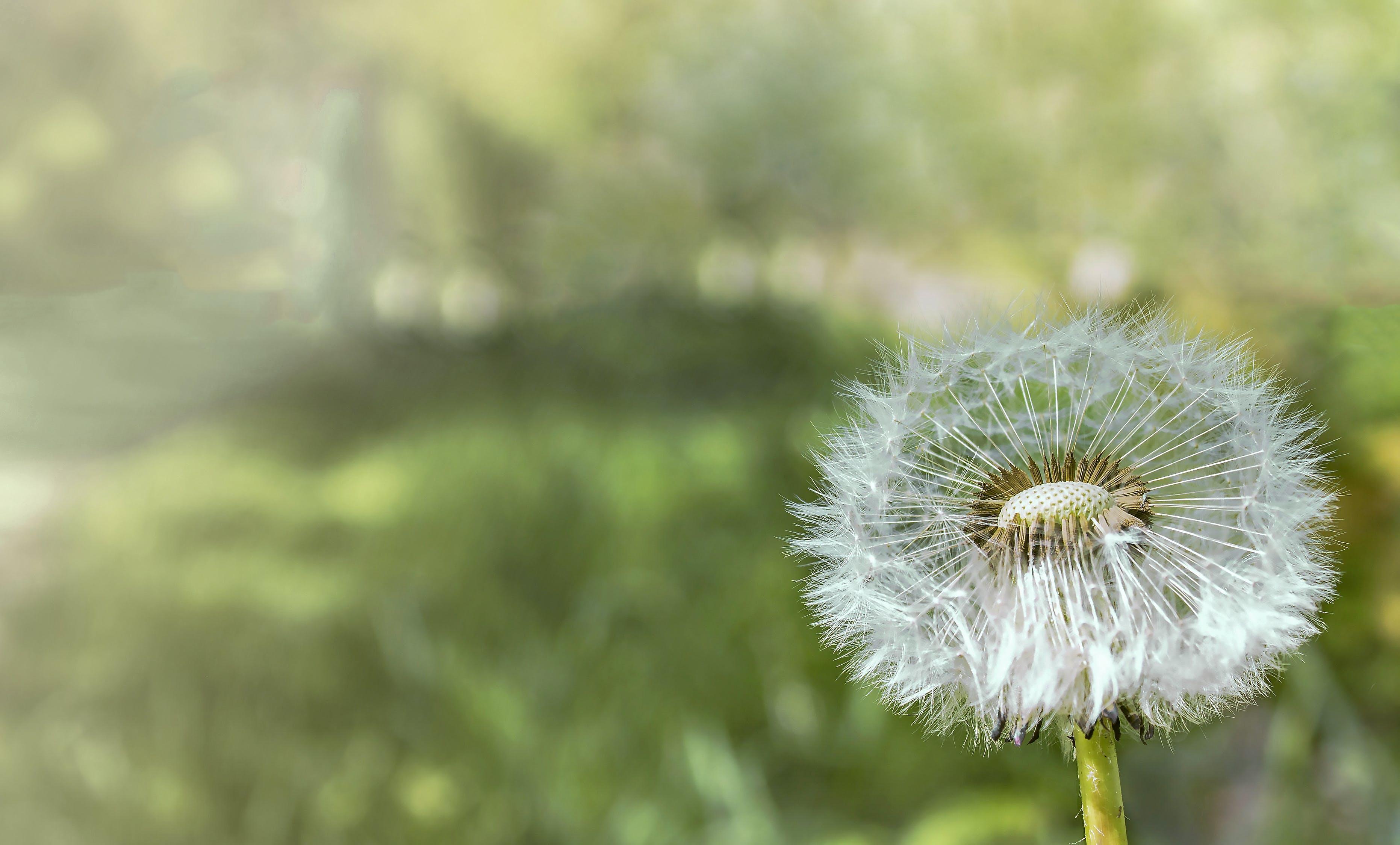 Closeup Photograph of White Dandelion