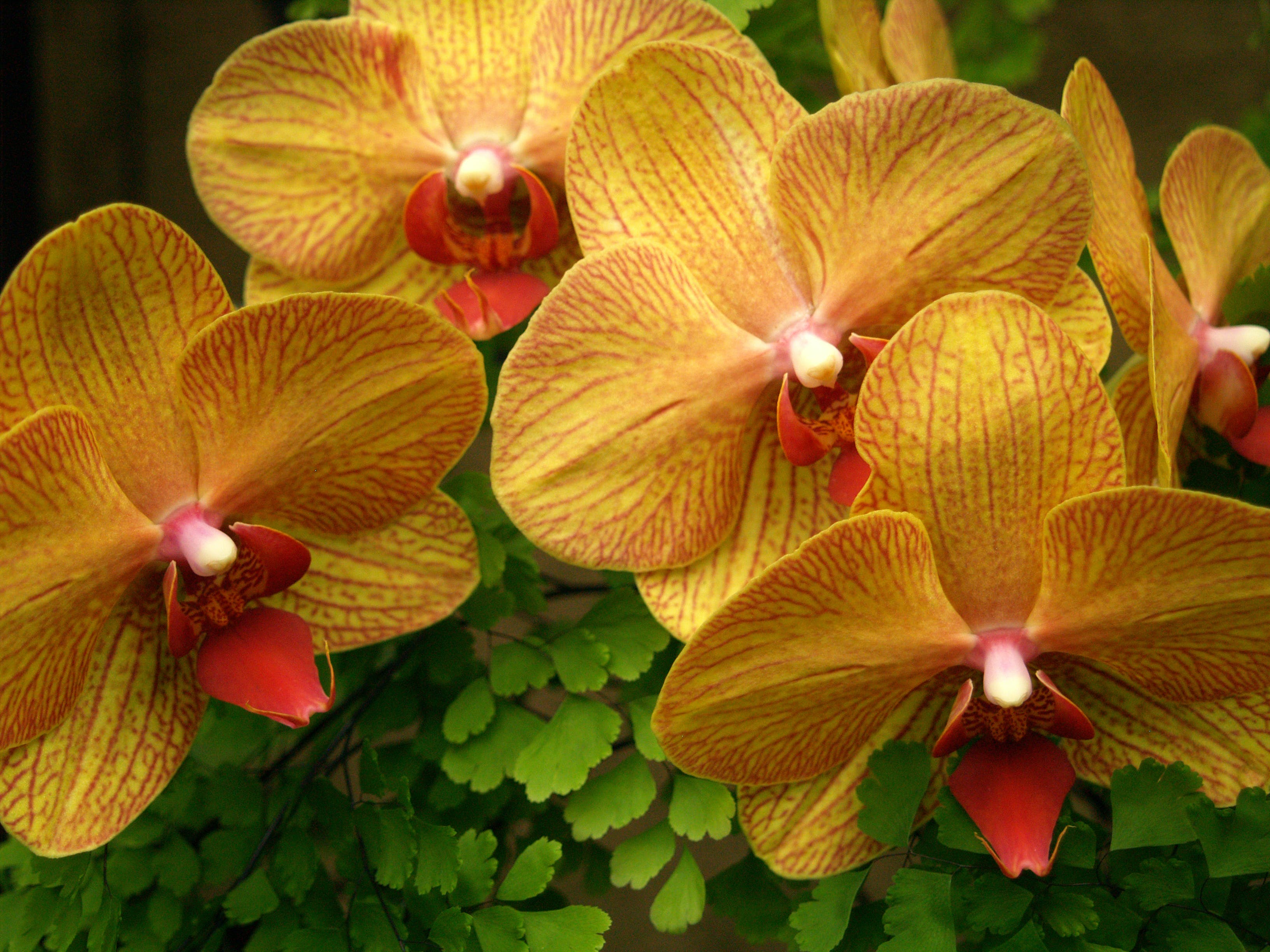 Free stock photo of flowers, orchids, plants
