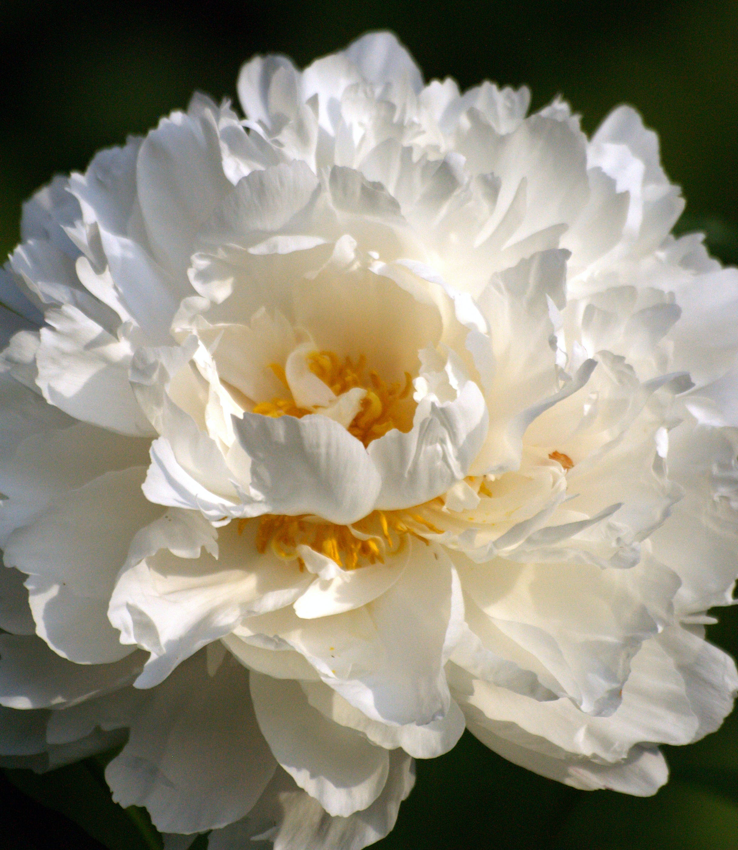 Free stock photo of flower, peony, white flower
