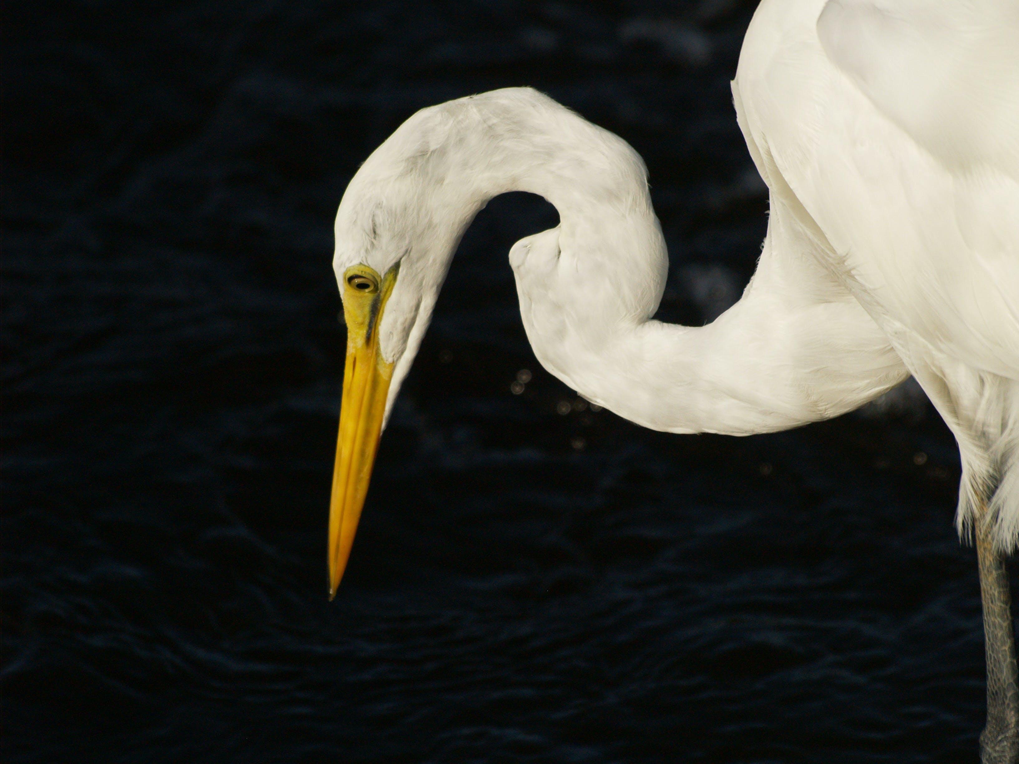 Free stock photo of bird, egret, great egret