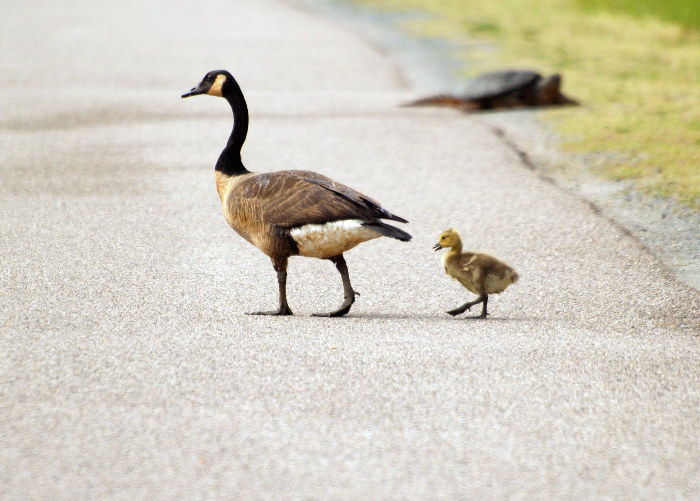 Free stock photo of animals, geese, gosling, wildlife