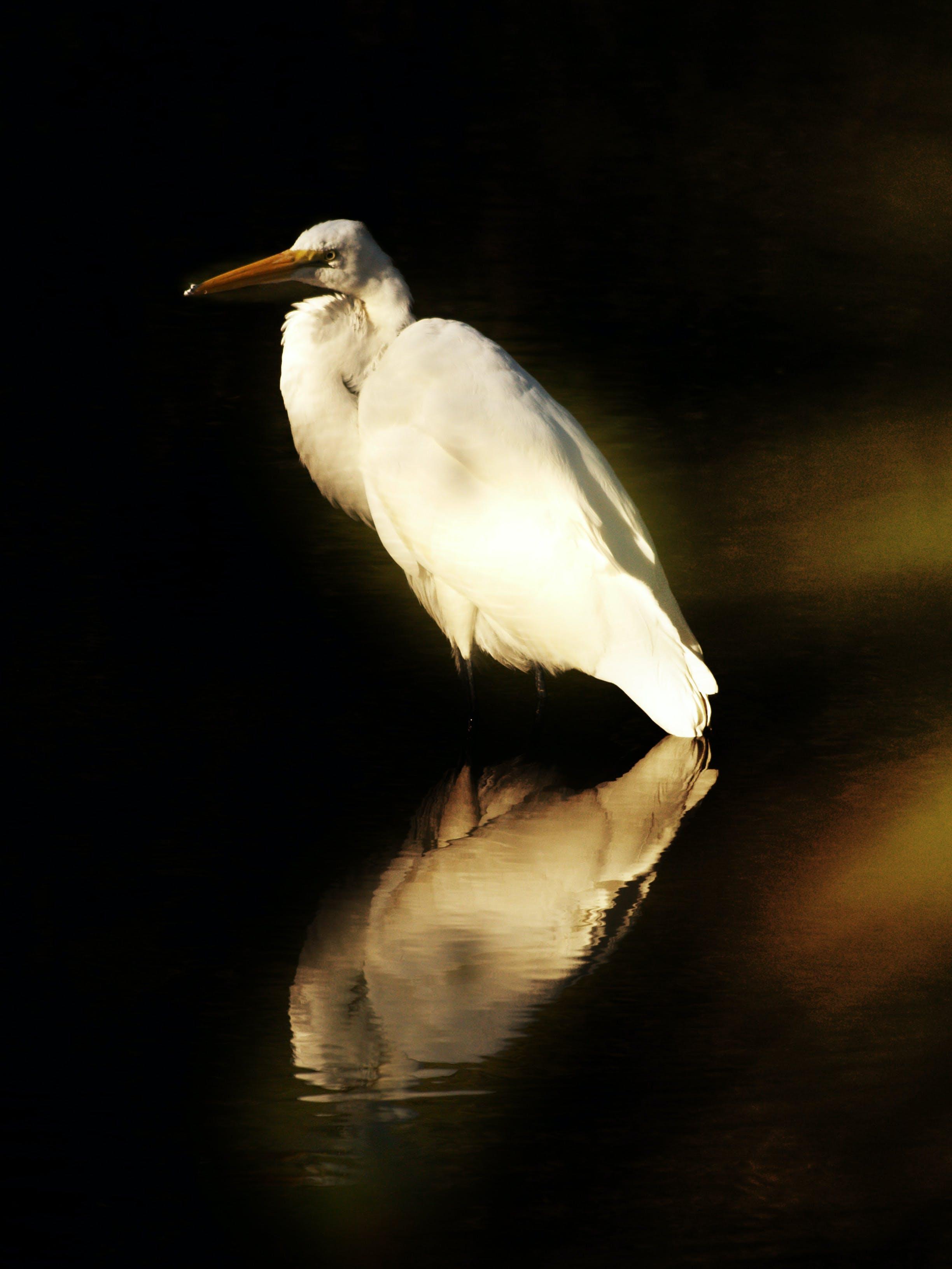 Free stock photo of bird, snowy egret, white bird