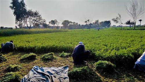 Imagine de stoc gratuită din arbori, culturi, punjab, sat