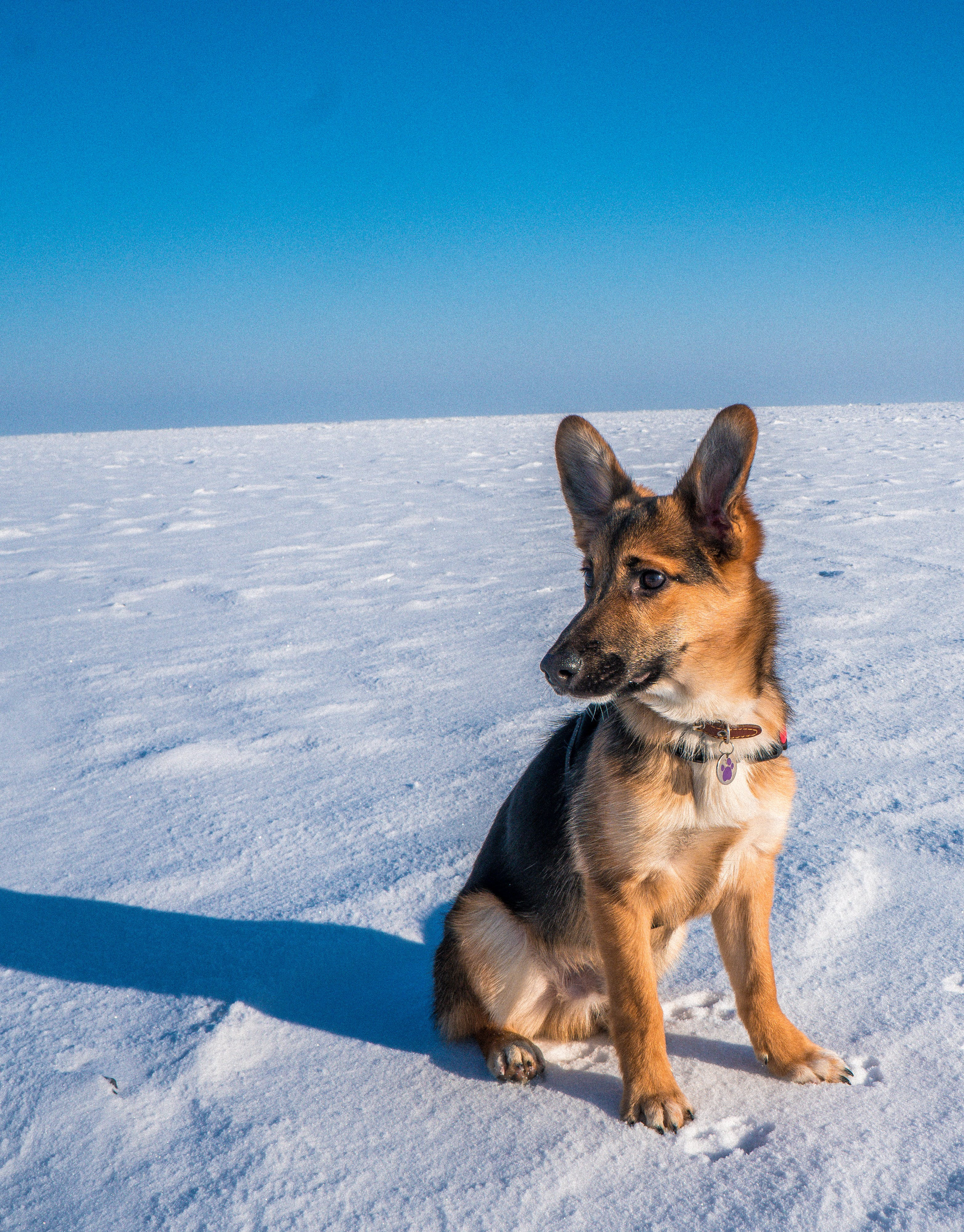 Free stock photo of dog, gsd, snow, travel
