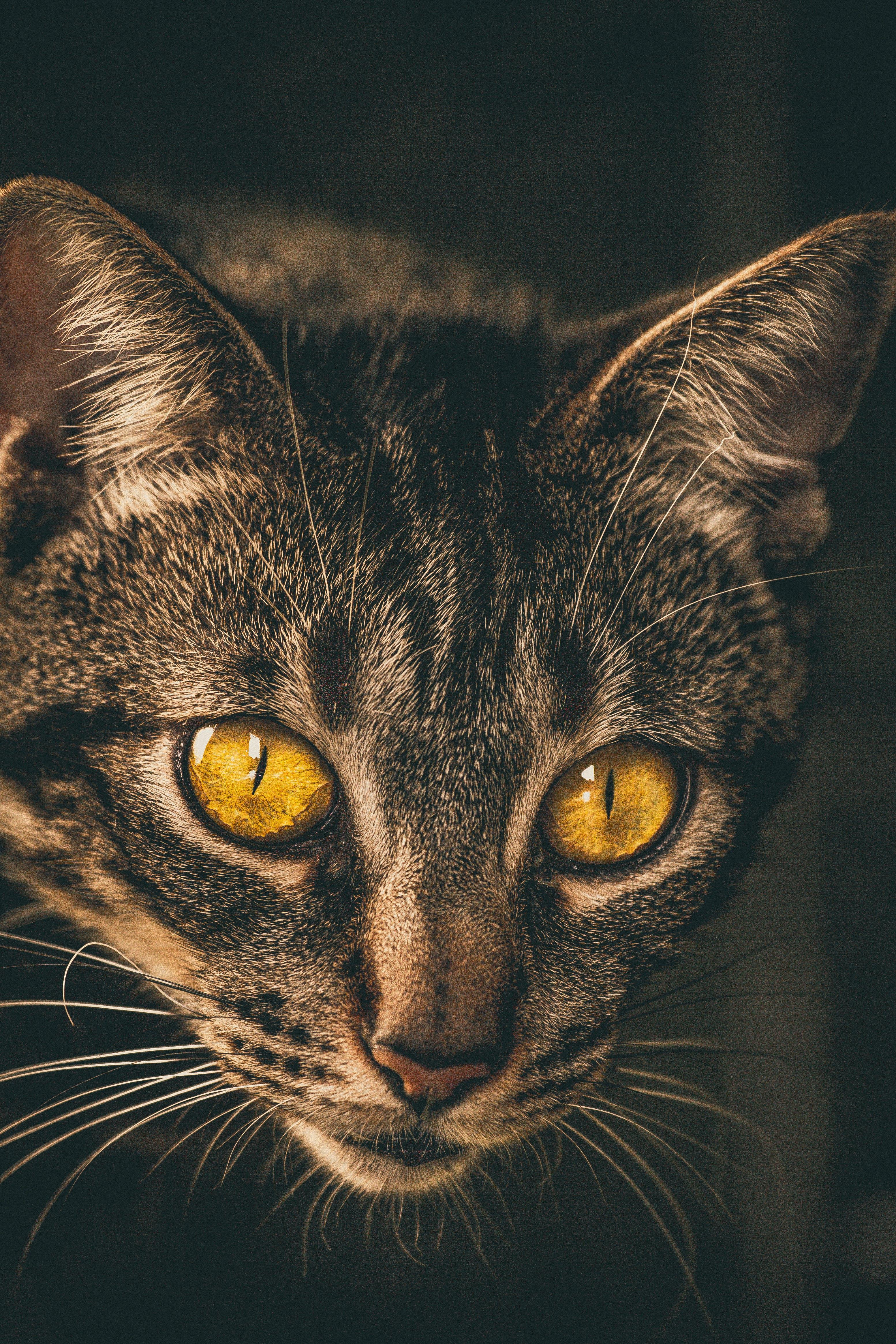 Close-Up Photo Tabby Cat