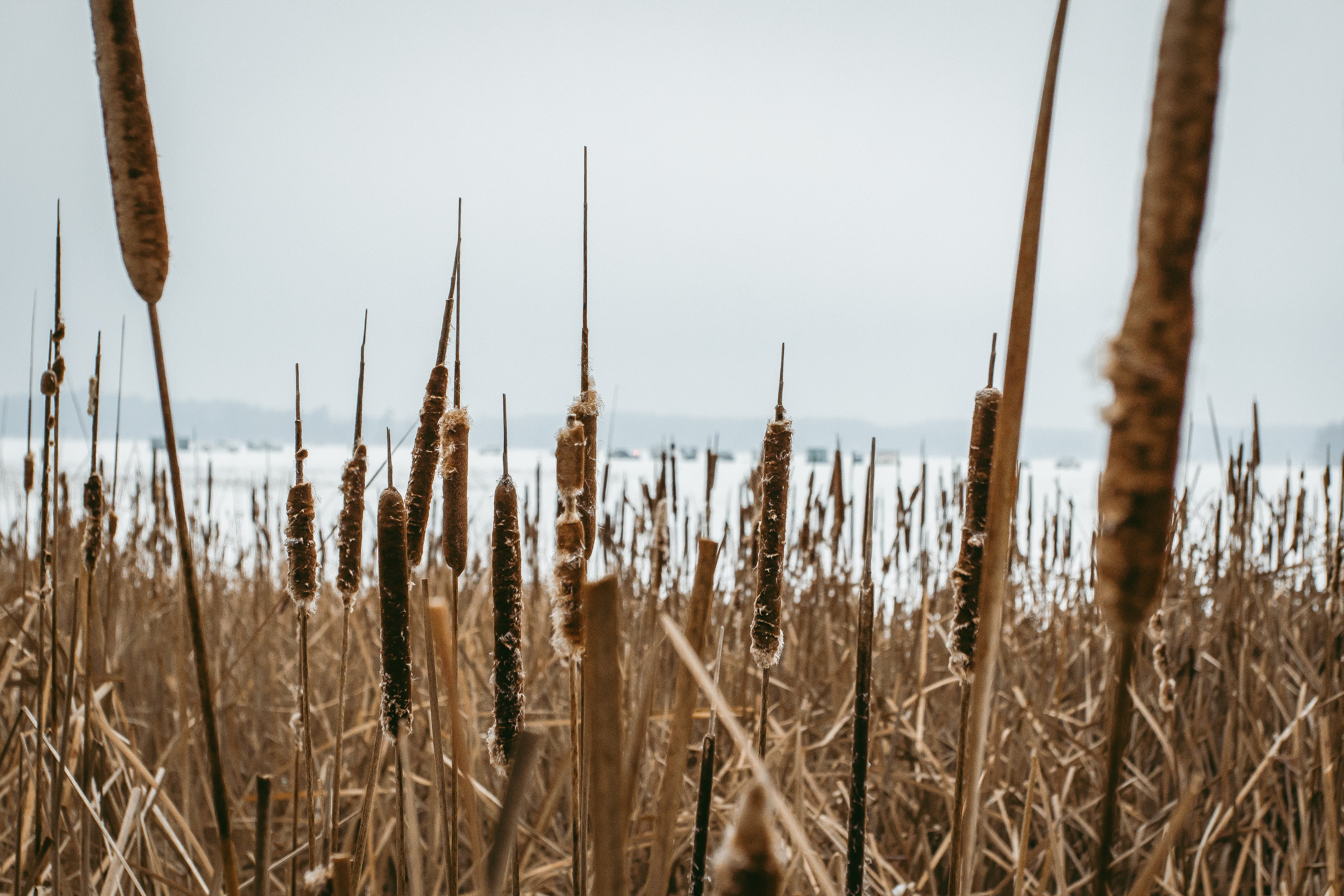 Free stock photo of grass land, landscape, nature, reeds