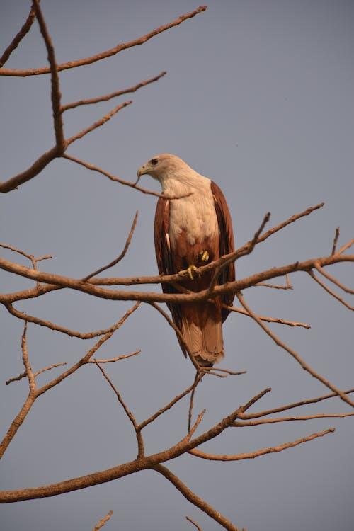 Ingyenes stockfotó madár a fán, sas, sasfotózás témában