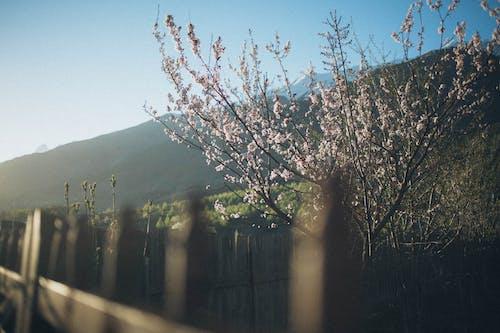 Foto d'estoc gratuïta de arbre, branques, flor de cirerer, planta
