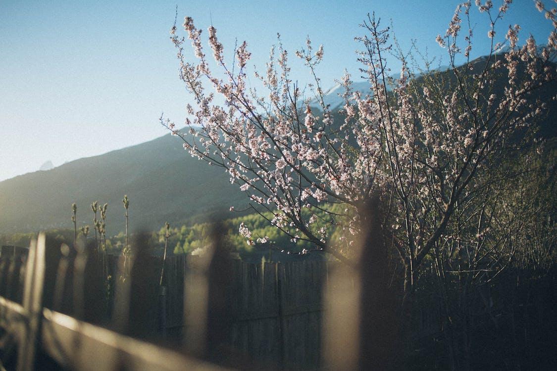άνθος κερασιάς, δέντρο, εργοστάσιο