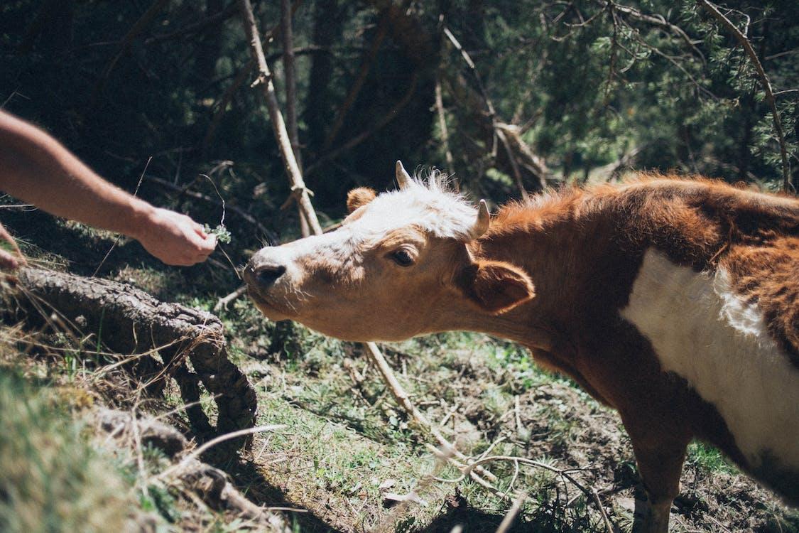 ánh sáng ban ngày, bò, cận cảnh
