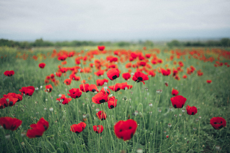 Foto d'estoc gratuïta de camp de flors, flora, florint, flors vermelles
