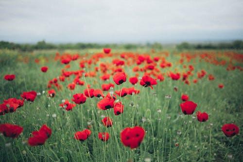 フローラ, ポピー, 花畑, 赤い花の無料の写真素材