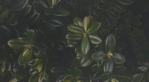 Kostenloses Stock Foto zu blätter, grün, pflanze