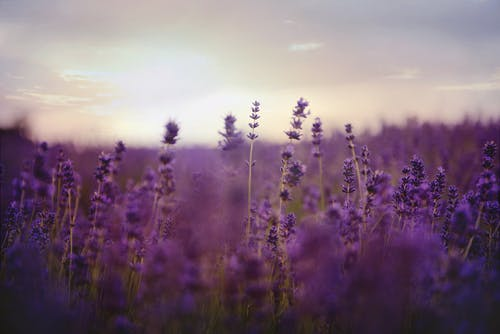 Бесплатное стоковое фото с глубина резкости, лаванда, поле, ферма
