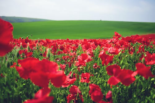 Free stock photo of poppies, poppy field, red flowers, red poppies