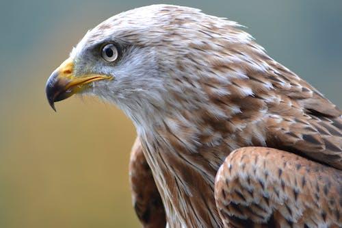 Foto d'estoc gratuïta de àguila, ala, animal, au rapinyaire