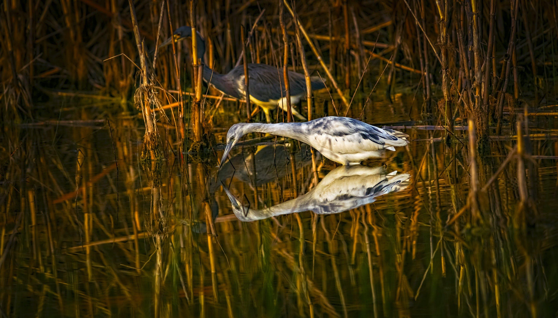 Free stock photo of bird, egret, heron