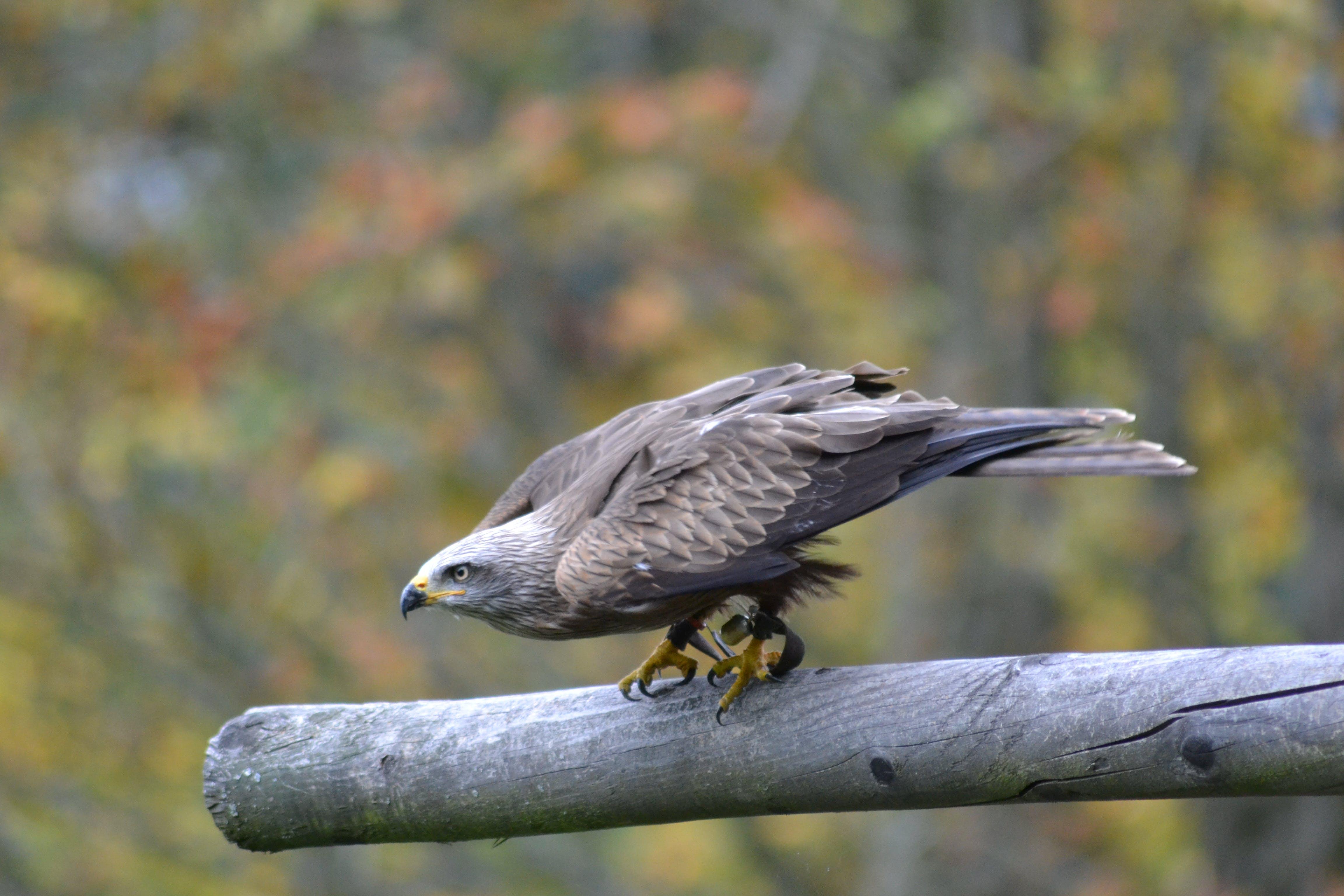 Foto stok gratis binatang, bulu, bulu burung, burung pemangsa