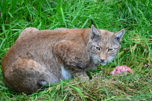 Brown Bobcat on Green Grass