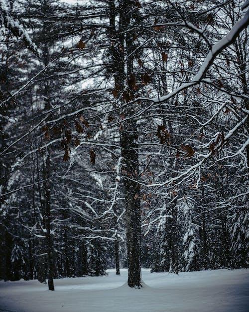 コールド, シーズン, 冬, 木の無料の写真素材