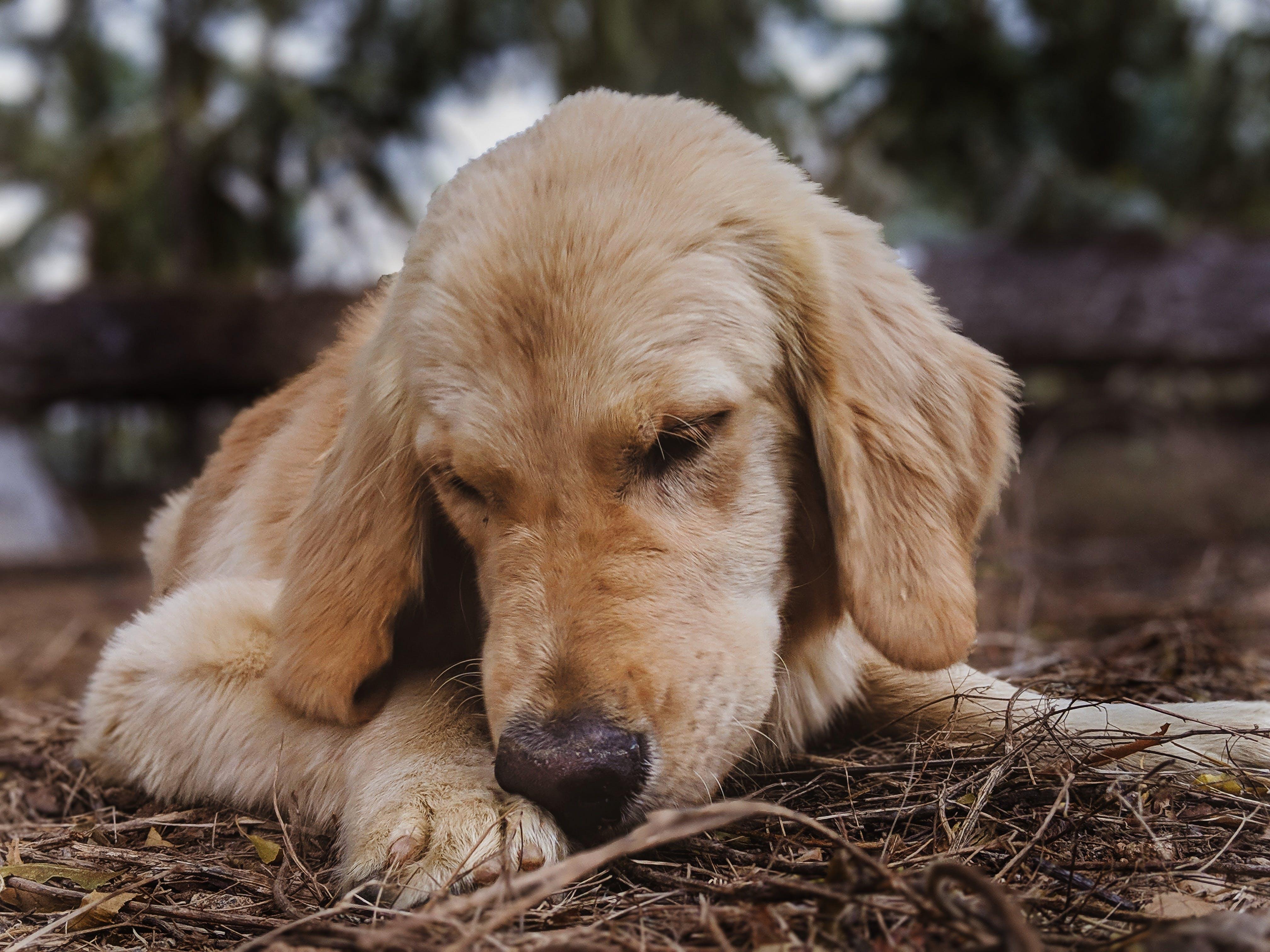 Gratis lagerfoto af golden retriever, hund, hunde, hundehalsbånd