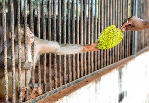 Person Giving Green Leaf To A Monkey