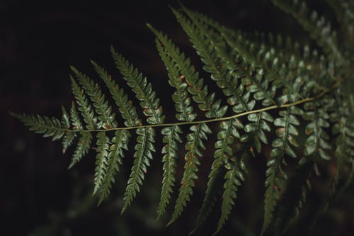Green Fern Plant Leaves in Close-up Photo