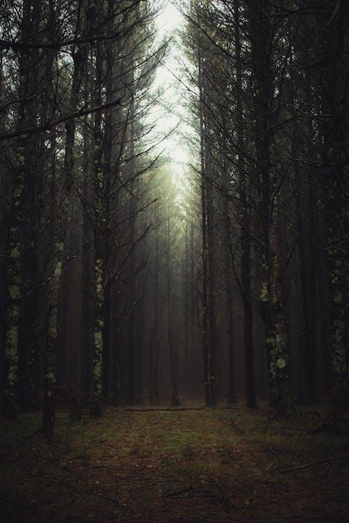 Foto profissional grátis de árvores, cênico, conífera, enevoado