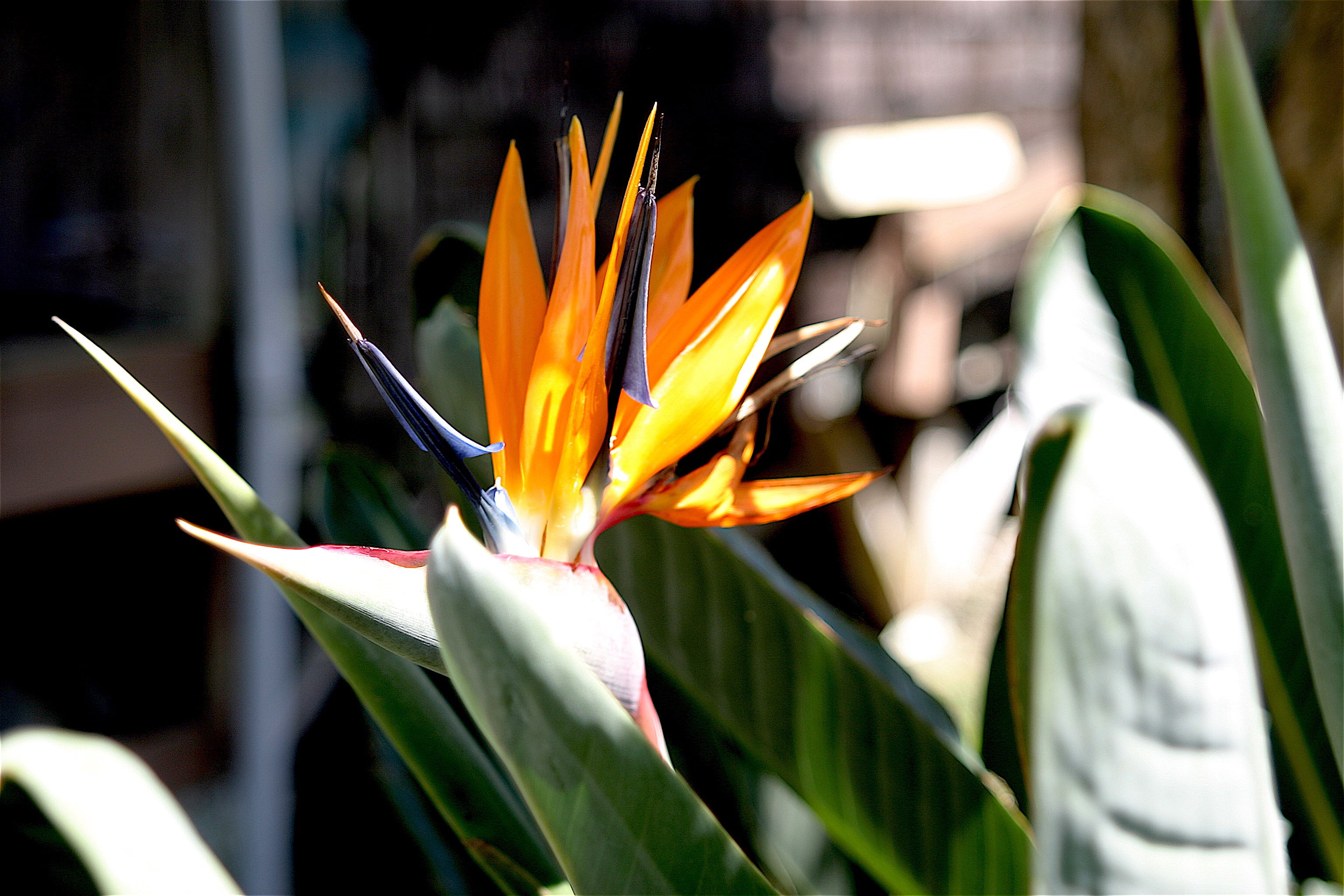 Free stock photo of bird of paradise, flowers, nature