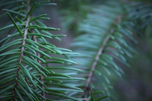 Free stock photo of the evergreen