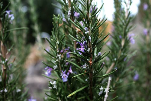 Free stock photo of rosemary