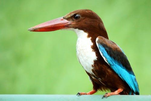 Free stock photo of beauty in nature, kingfisher, nature, White Throated Kingfisher