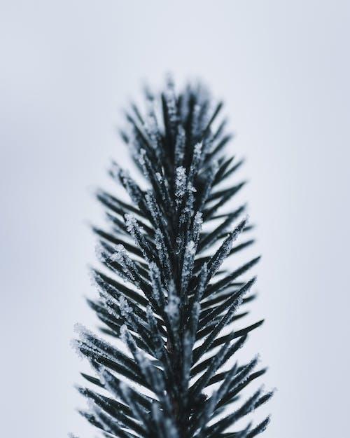 Бесплатное стоковое фото с ветвь, ель, зима, игла