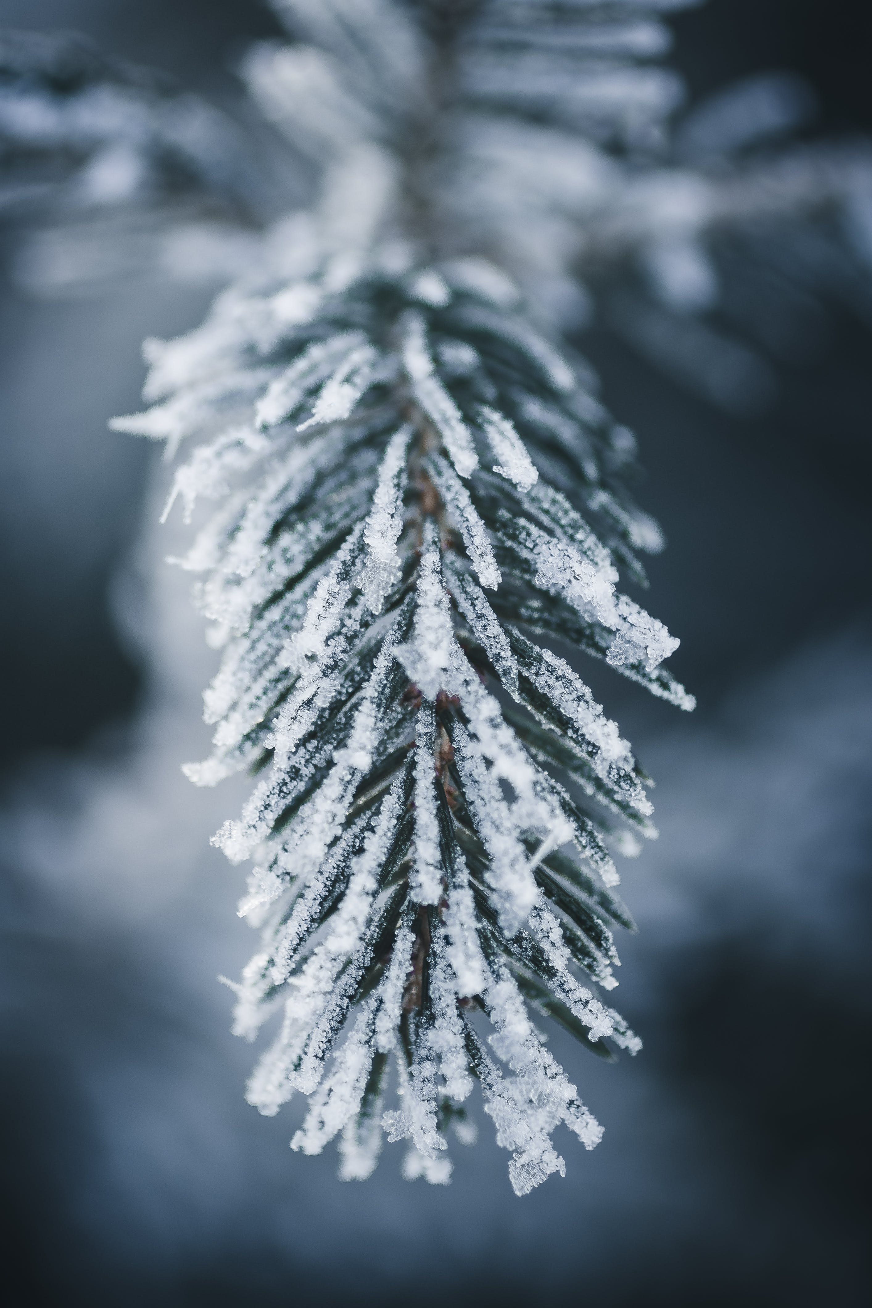 Close-Up Photo of Frozen Pine Leaves
