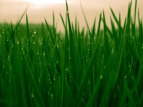 Immagine gratuita di campo d'erba, campo di riso, indonesia, natura