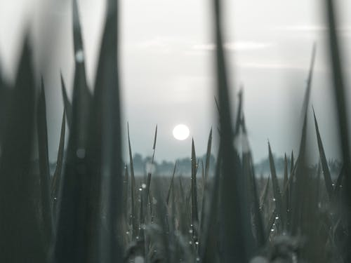 Immagine gratuita di campo di riso, cielo, macinato, mattina presto