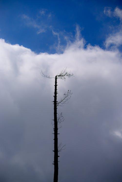 Immagine gratuita di alberi, alto, azzurro, bianco