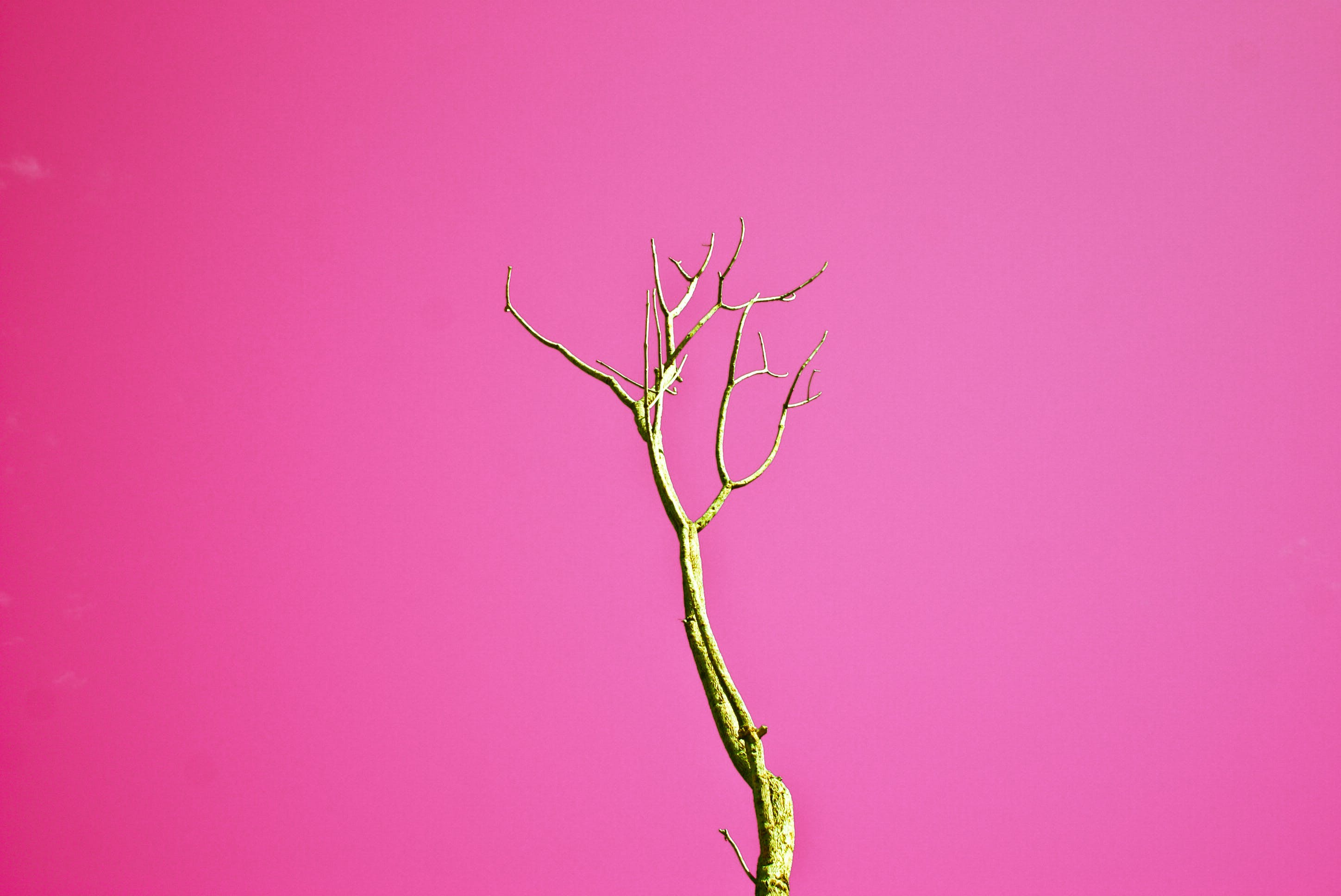 Brown Leafless Tree With Pink Background