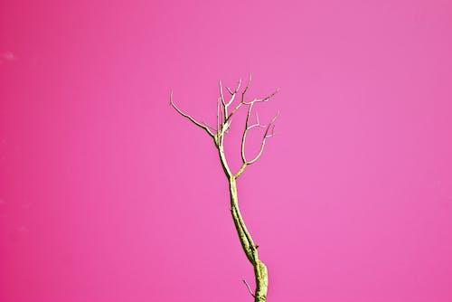 Albero Senza Foglie Marrone Con Sfondo Rosa
