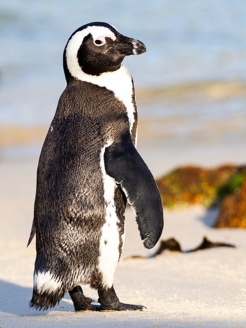 Бесплатное стоковое фото с африканский пингвин, белый, вода, гумбольдт