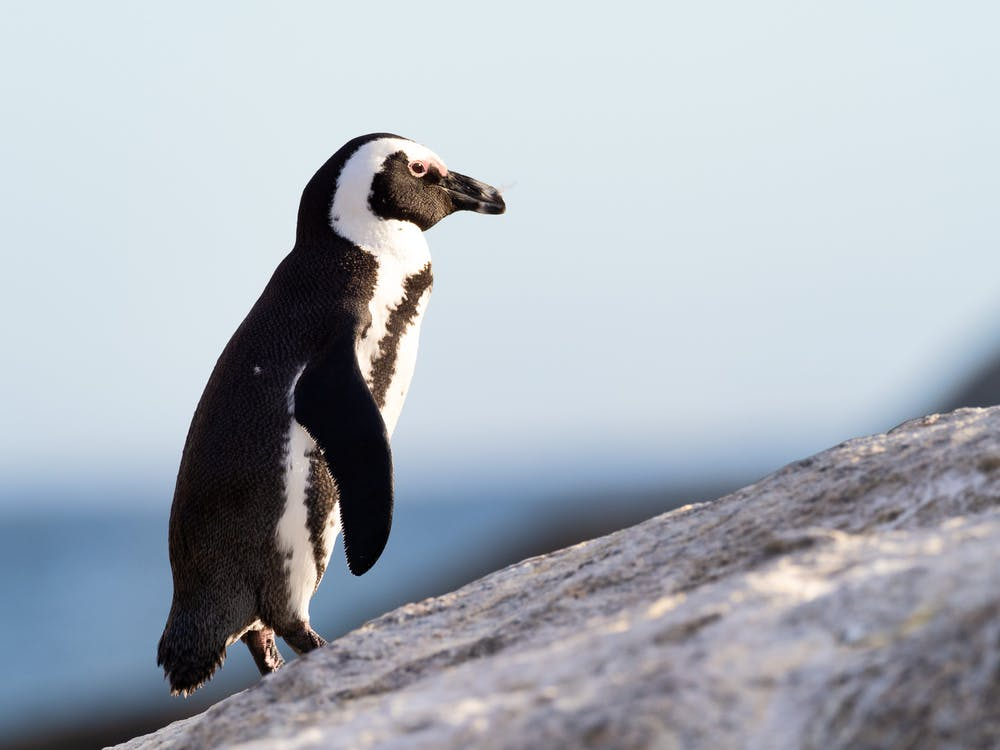Black And White Penguin Standing On Stone