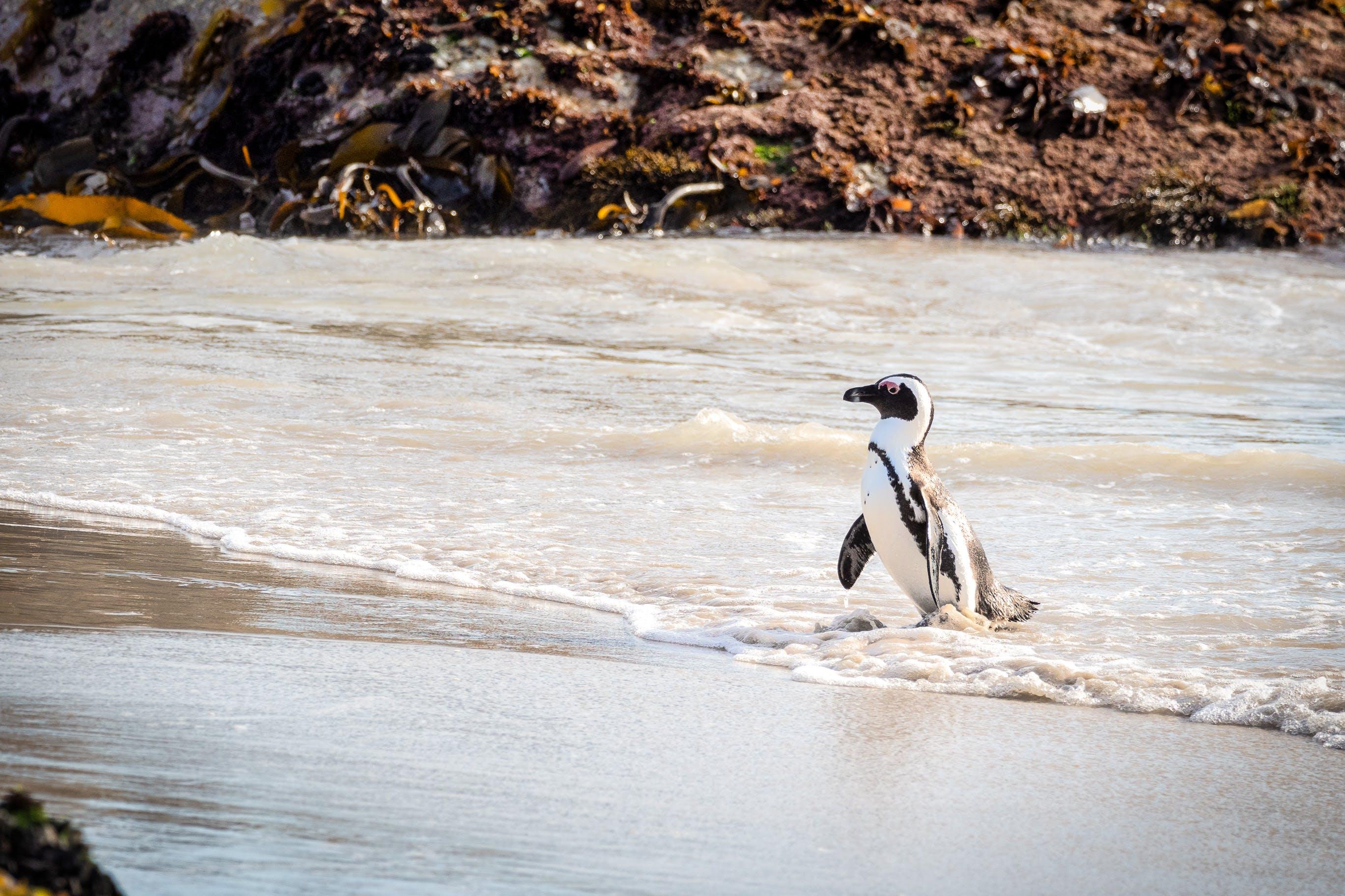 Foto d'estoc gratuïta de animal, mar, pingüí, platja