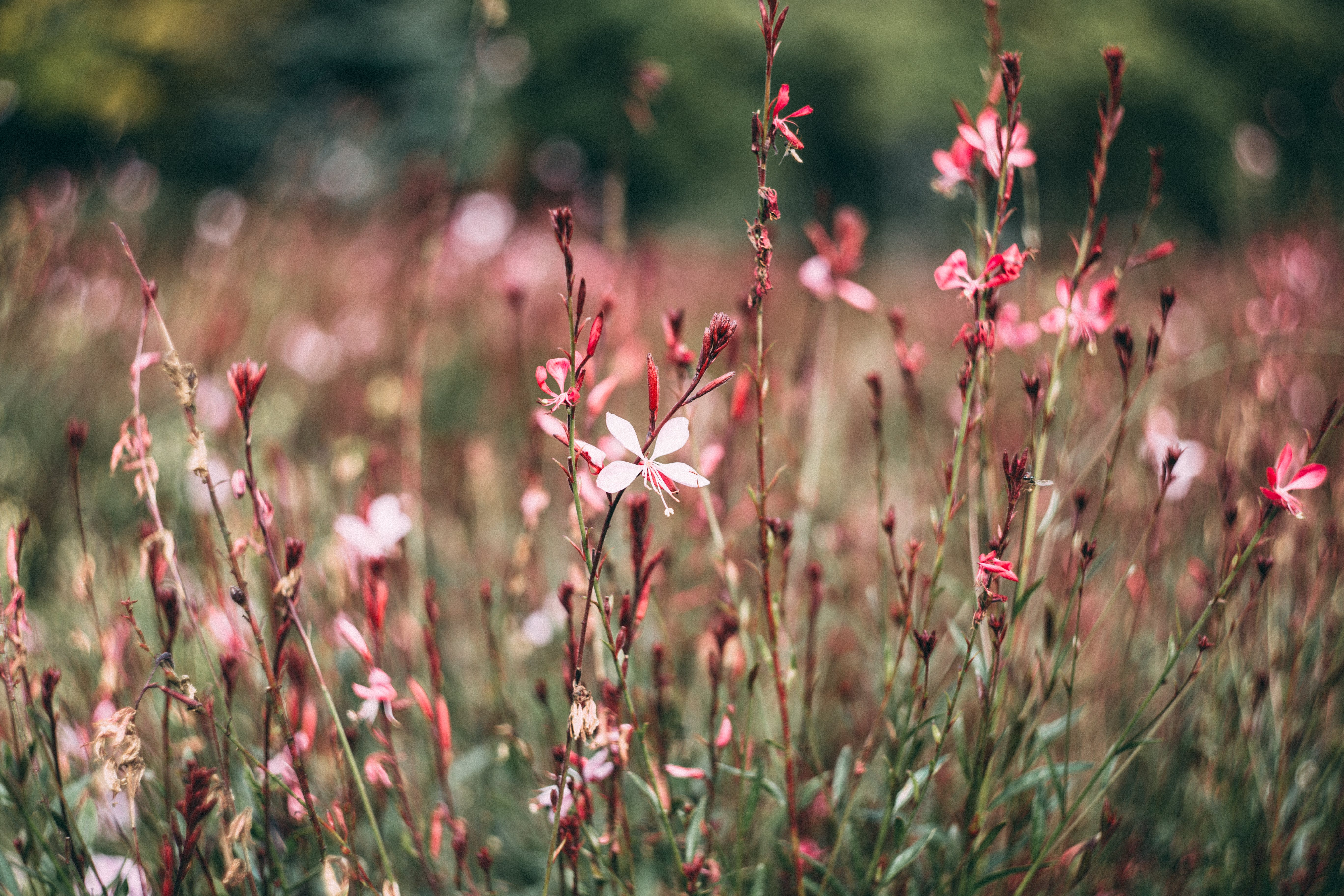 Pink and White Petaled Flower in Closeup Photography at Daytime