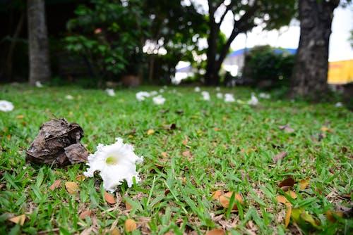 Δωρεάν στοκ φωτογραφιών με background, bignoniaceae, dolichandrone, αγρόκτημα