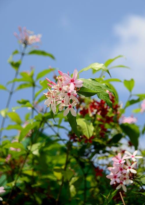 Δωρεάν στοκ φωτογραφιών με background, fruticosa, kopsia, macro